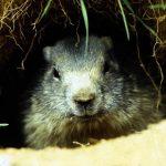 La marmotta
